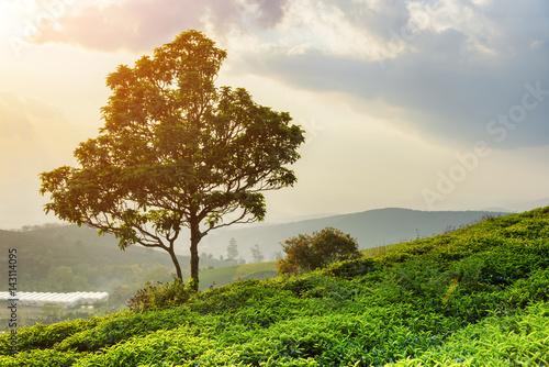 Tree among green tea bushes at tea plantation at sunset