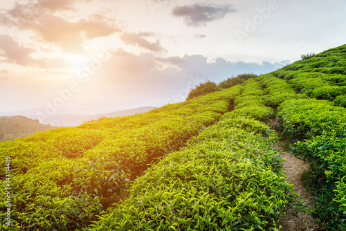 Amazing rows of bright green tea bushes and sunset sky