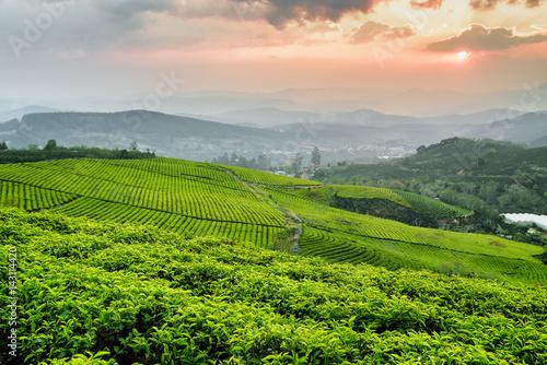 Tea plantation at sunset. Beautiful rows of tea bushes