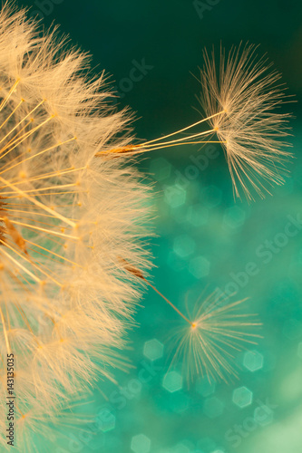 Aluminium Paardenbloemen white dandelion flower with seeds in springtime in blue turquoise abstract backgrouds