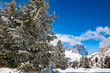Quadro Fir trees on a mountain slope at Dolomites in Italy