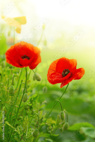 Two Poppy flowers isolated on green.