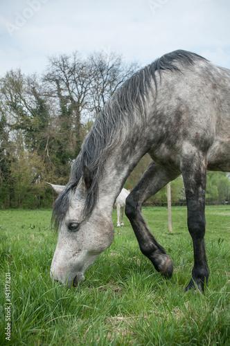 Cheval gris en plein air broutant dans un champ