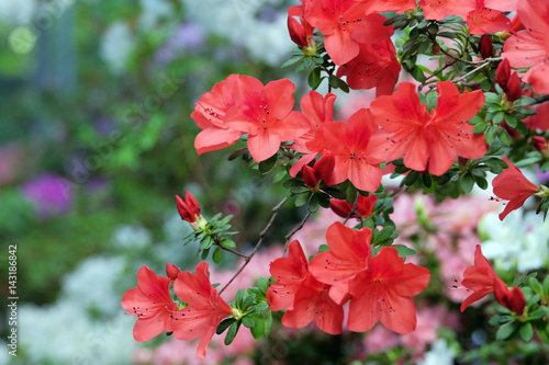 Fotobehang Azalea Beautiful flowering azalea