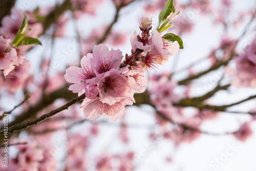 Poster Mandelblüte im Frühling an einem sonnigen Frühlingstag