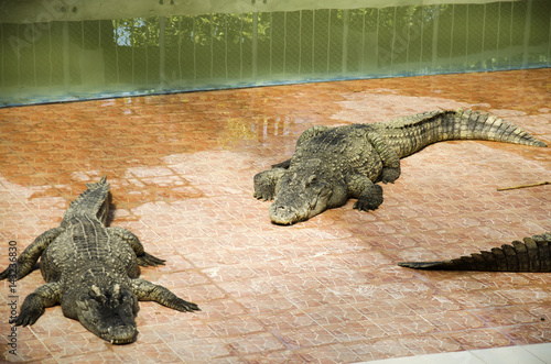 Foto op Plexiglas Krokodil Crocodiles sleeping and resting in the park of Bueng Boraphet is the largest freshwater swamp