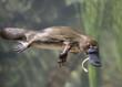Tasmania , platypus eating worm