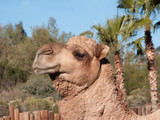 Head shot of Dromedary Camel, native of North Africa and Middle East
