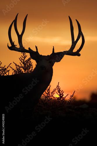 Mule Deer Sunset Poster