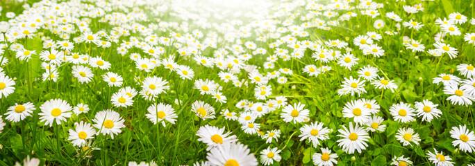 Gänseblümchen, Blumenwiese im Sommer, Banner