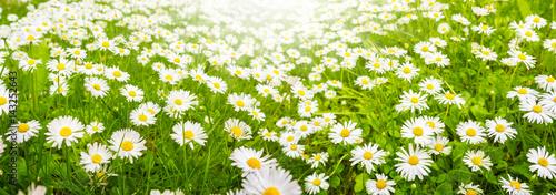 Gänseblümchen, Blumenwiese im Sommer, Banner - 143252643