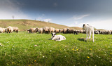 Herd of sheep on pasture in spring - 143260844