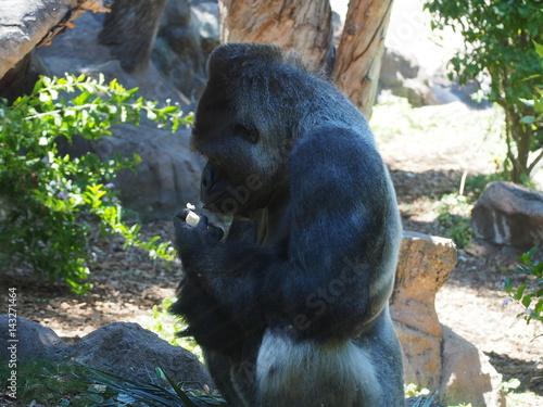 Poster Gorilla