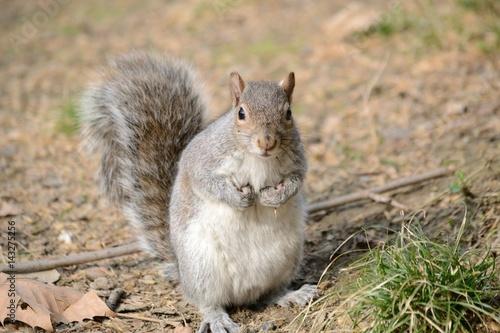 Poster scoiattolo grigio