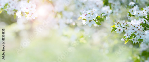 canvas print picture Cherry blossoms in spring