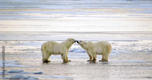 Plakat Polar Bears Greeting, Churchill, Manitoba, Canada