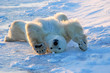 Polar bear awakens and stretches in Churchill, Manitoba, Canada