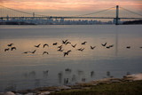 Geese flying with Bronx-Whitestone Bridge and Manhattan in the background – New York City - 143319061