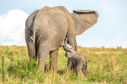 Poster Baby elephant suckles mom