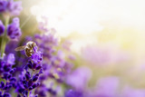 Pollination with bee and lavender with sunshine, sunny lavender - 143335031