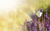Lavender with butterfly and sunshine - 143336610