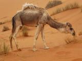 Camel at Merzouga, Morocco