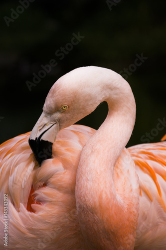 Flamingo cleaning feathers Poster
