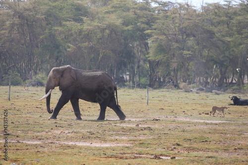 Poster Wild Elephant