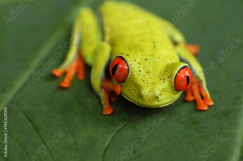 Aluminium Kikker Red eyed tree frog from Costa Rica