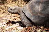 ldabra Giant Tortoise (Dipsochelys gigantea), Seychelles / This reptile is the last surviving giant tortoise species, which once inhabited some islands of the Indian Ocean.