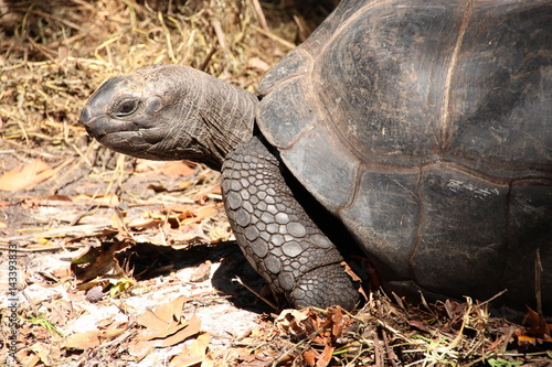 Poster ldabra Giant Tortoise (Dipsochelys gigantea), Seychelles / This reptile is the last surviving giant tortoise species, which once inhabited some islands of the Indian Ocean
