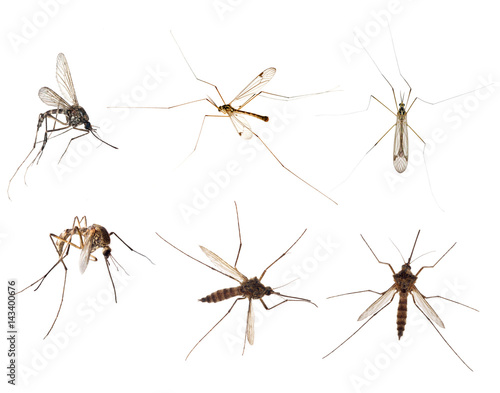 six mosquitoes isolated on white - 143400676