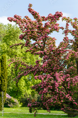 Foto op Canvas Lilac Flowers pink hawthorn. Tree pink hawthorn