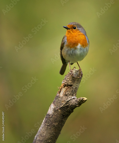 European robin perched on a branch