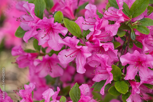 Foto op Canvas Azalea hot pink rhododendron flowers closeup on a green background