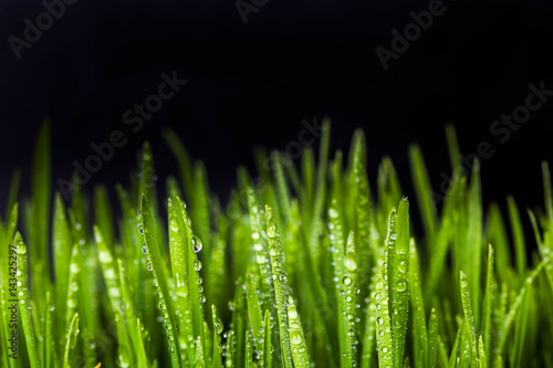 Foto op Plexiglas Landschappen sprouts of green wheat grass on black background