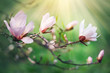 Spring magnolia blossom background. Beautiful nature scene with blooming magnolia