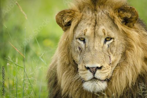 Lion (Panthera leo). KwaZulu Natal. South Africa Poster