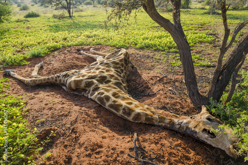Poster Dead South African giraffe or Cape giraffe (Giraffa giraffa giraffa)