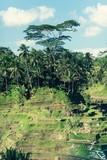 Rice Terrace Fields In Bali