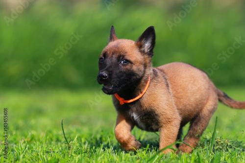 Poster puppy belgian shepherd