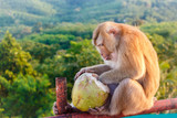 A monkey with a coconut. The Big Buddha temple in Phuket. Thailand.