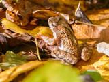 The frog in the autumn forest.