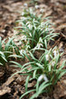 Snowdrops on dry leaves in the forest