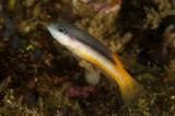 Raja dottyback, Pseudochromis sp., Raja Ampat Indonesia
