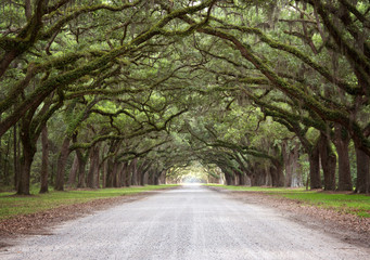 A Mossy Live Oak Tree Tunnel