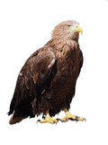Eagle with yellow beak sitting  isolated at white