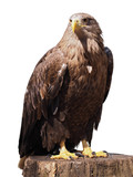 Eagle with yellow beak sitting at the wood isolated at white