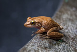 Coqui Frog in Hawaii sitting on a rock bowl