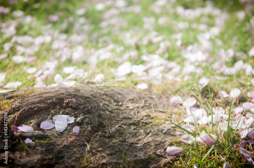 cherry blossom nature background with naturally arranged blossom on the ground